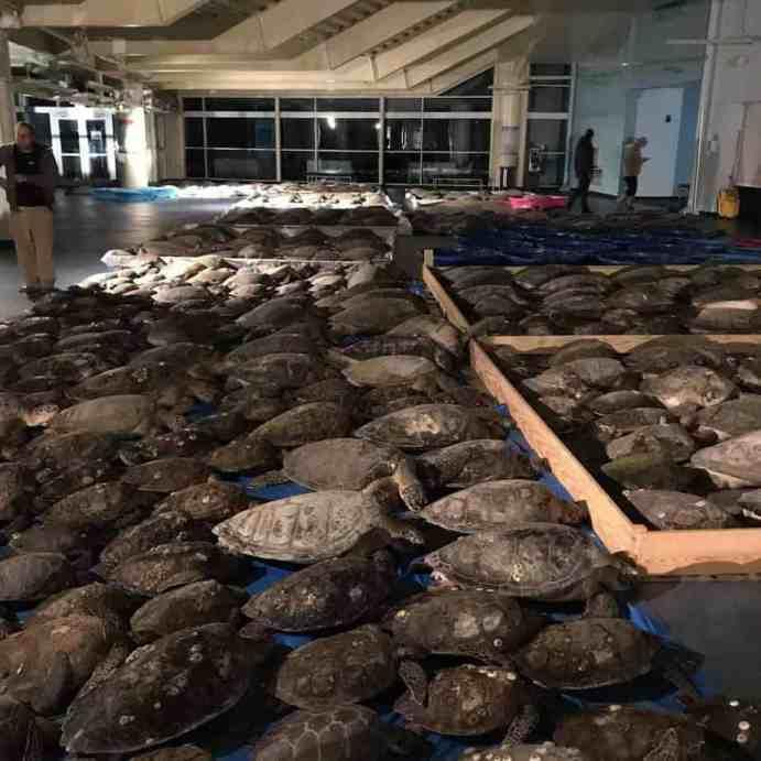 Turtles rescued in Texas