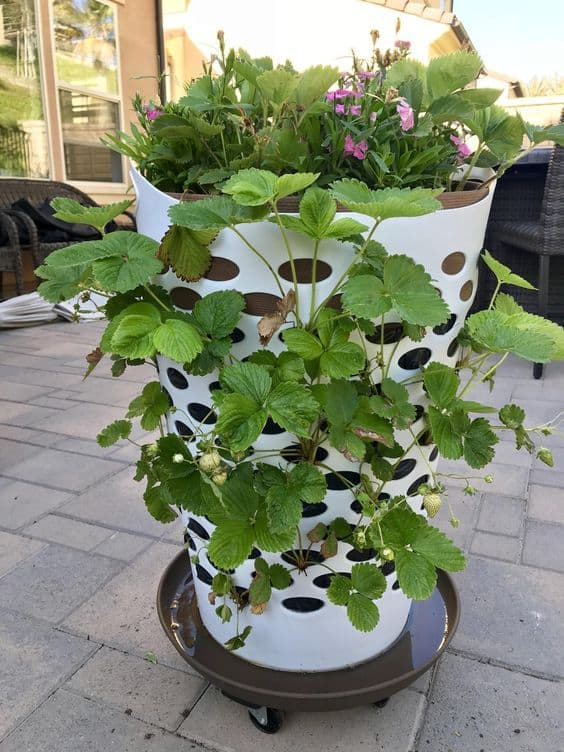 A strawberry planter made from a laundry basket