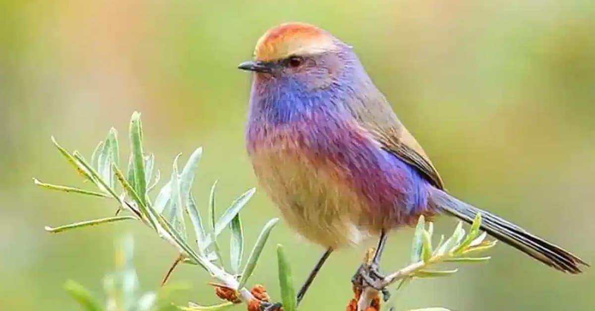 <b>Эта маленькая птичка поражает людей своей красивой радужной окраской. [Photo Gallery] </b>