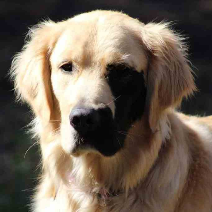 Enzo the golden retriever with a patch of black fur on his face