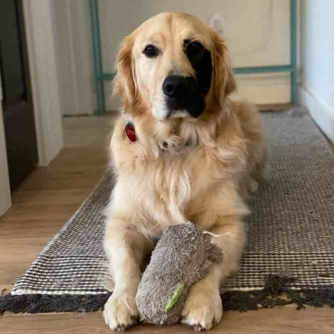Enzo Viola holding a stuffed toy between his front paws