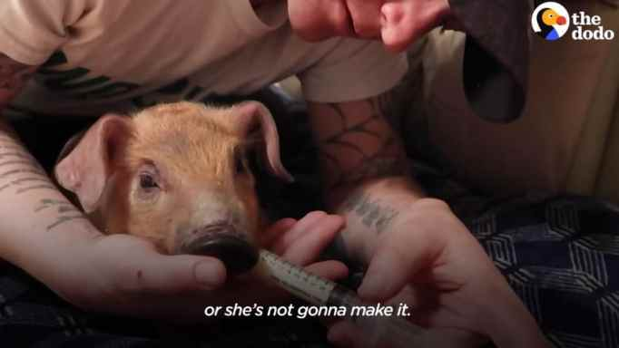 A piglet being fed with milk via syringe