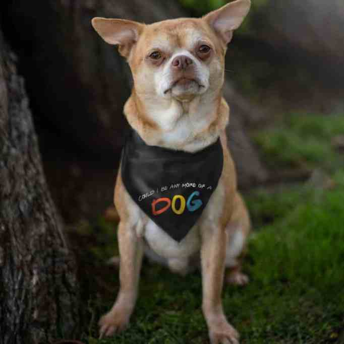 """Prancer the chihuahua wearing a bandana emblazoned with the words """"Could I Be Any More Of A Dog?"""""""