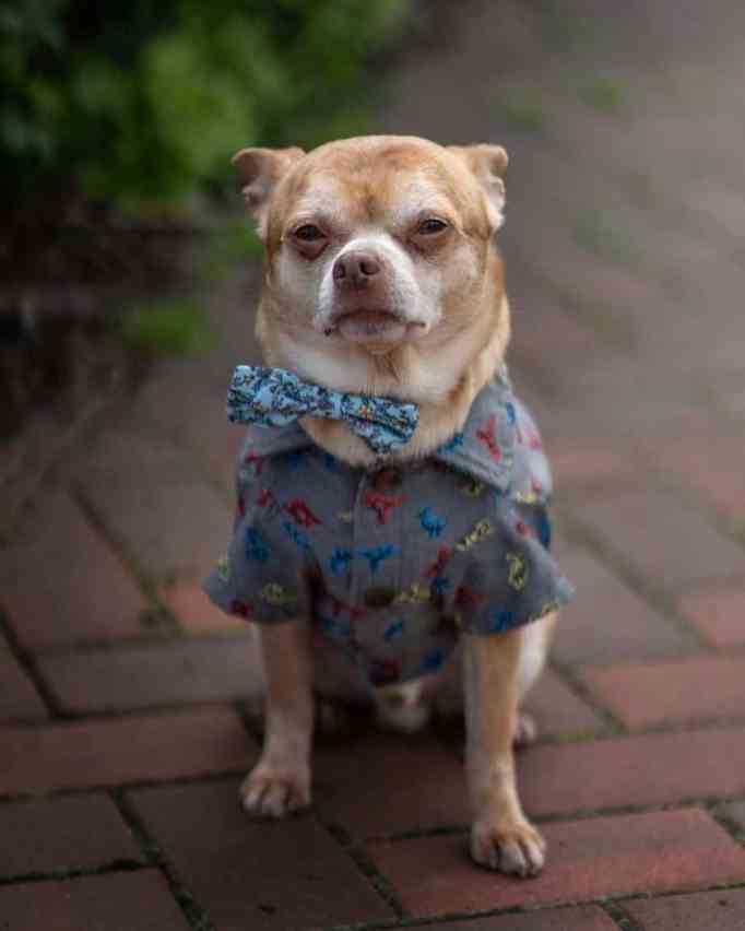 Prancer the chihuahua wearing a dress shirt and bow tie