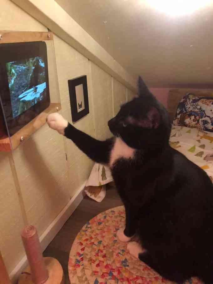 Черно-белый кот смотрит видео с планшета Kindle Fire