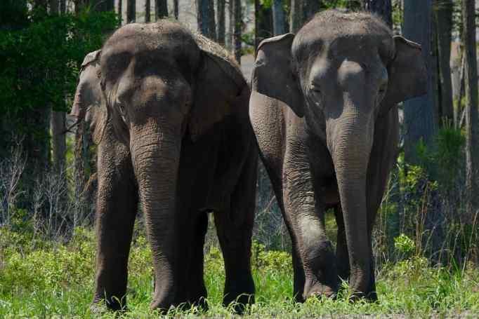 Пара азиатских слонов
