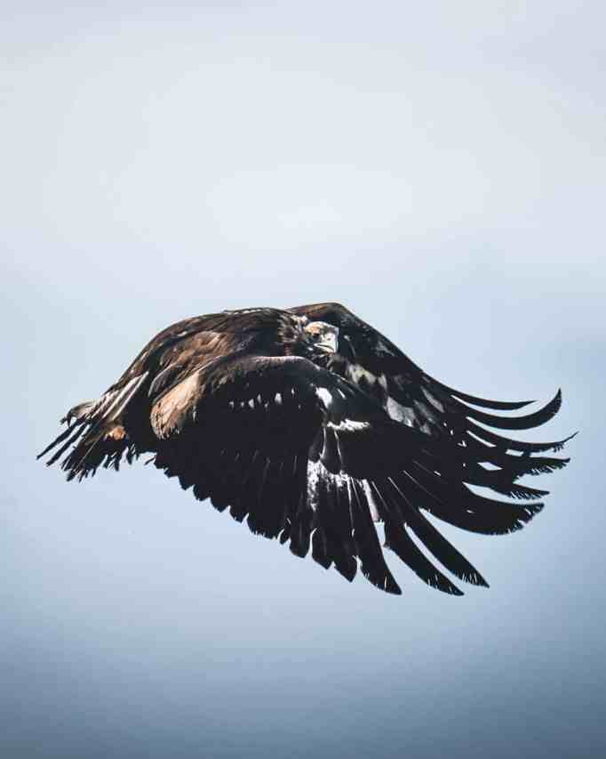 An eagle flying