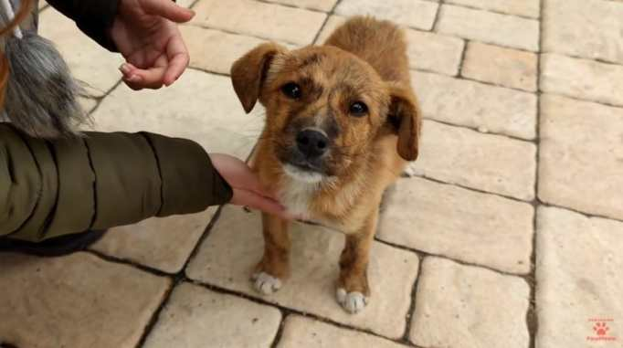 A little brown puppy