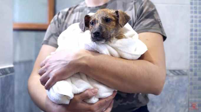 A wet brown puppy wrapped in a white towel