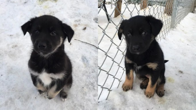 Two black puppies on the snow