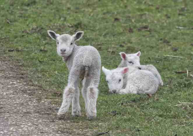 Lambs quietly grazing on a farm.