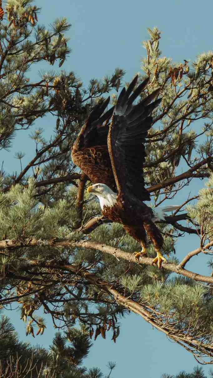 American Bald Eagle spreads its wings as it's about to take off.