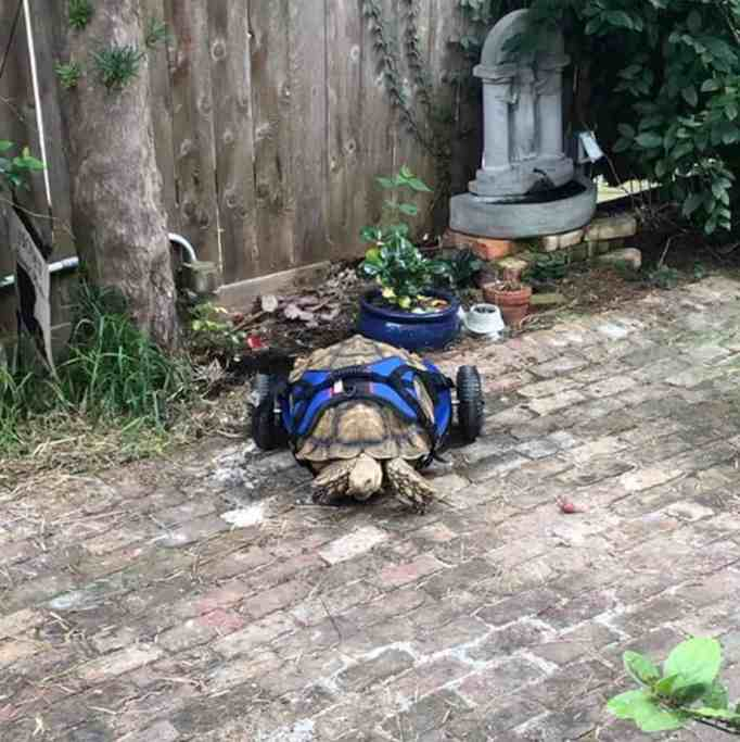 George Bailey the Sulcata tortoise using his new custom wheelchair