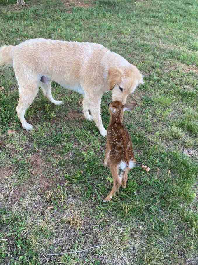 Harley and a fawn touching noses