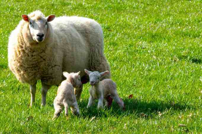Two lambs and their mother enjoy the sun and the field.