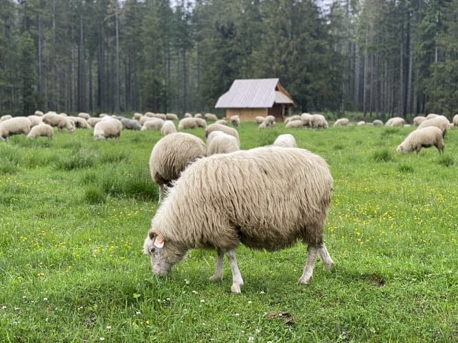 Flock of sheep eating grass on a farm.