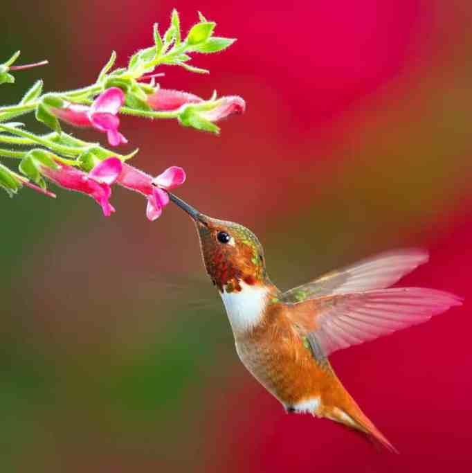 A hummingbird getting nectar from a flower