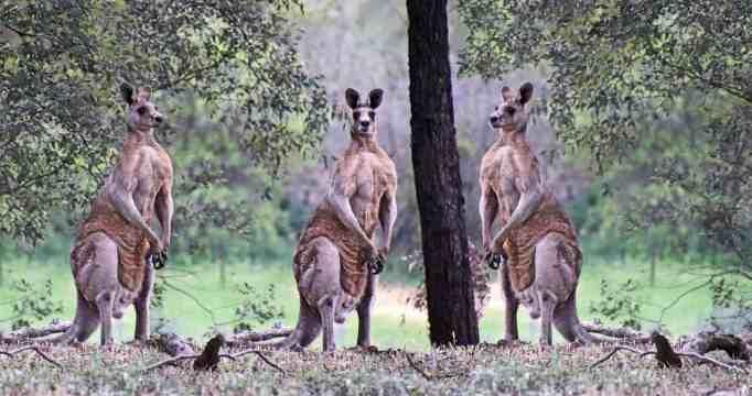 Three kangaroos