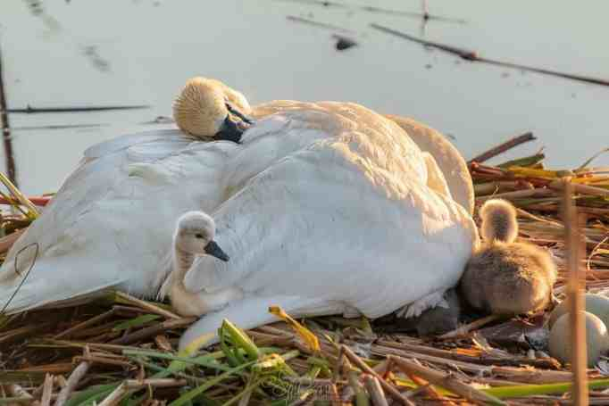 A father swan tucking cygnets under his wings