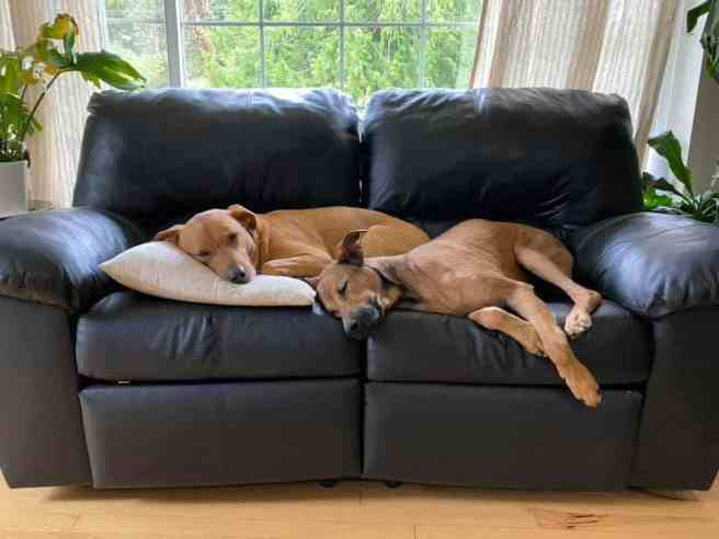 Two dogs sleeping on a couch