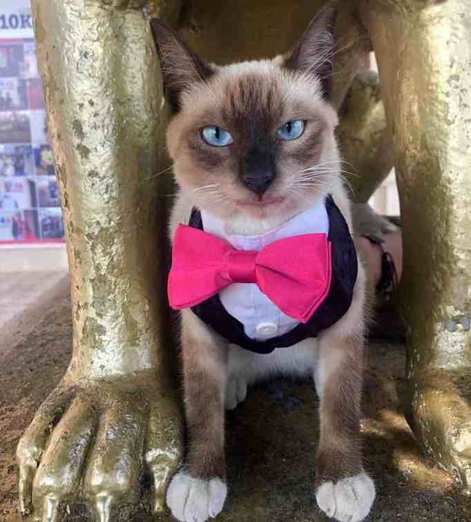 A Siamese cat wearing a suit with a pink bow tie