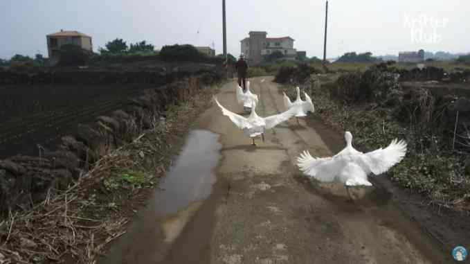 A gaggle of geese trailing behind their owner