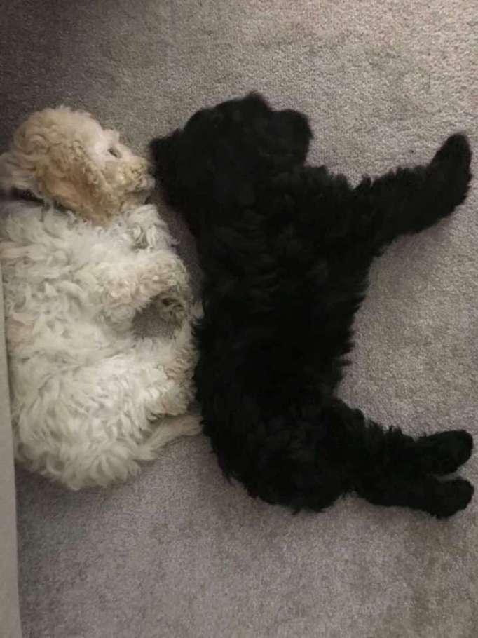 Two cockapoos sleeping
