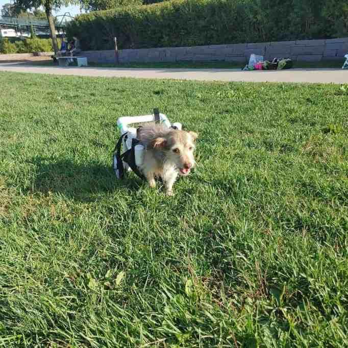 A dog wearing custom wheelchair