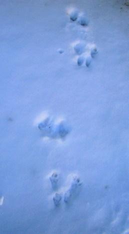 Backyard Animal Tracks