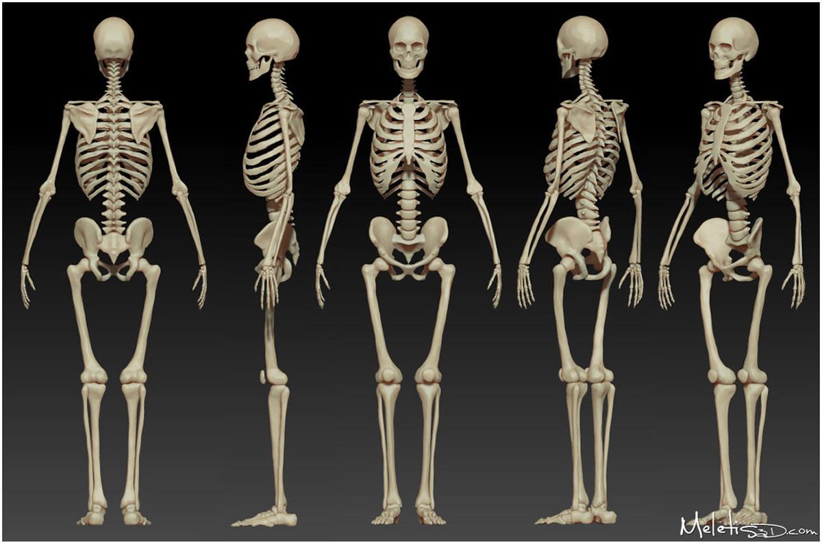 Hyman Body : The Skeleton