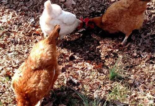 How to Get Chickens to Come When Called