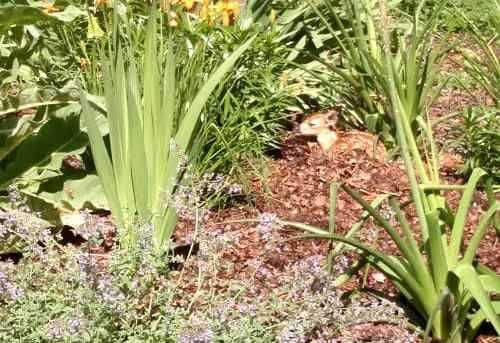 A fawn in the flowerbed