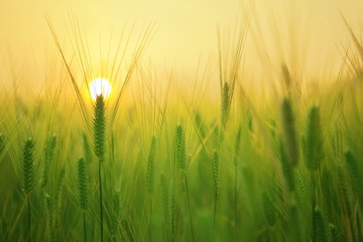 Barley field in the morning sun symbolizing new life and hope.