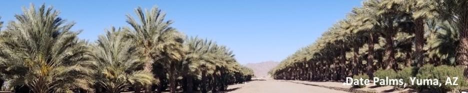 Yuma Date Trees