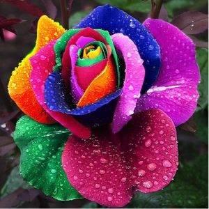 rose arc-en-ciel