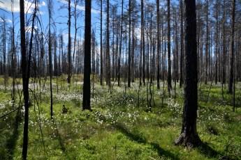 Ängsull vid Hälleskogsbrännan