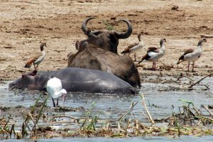 cohabitation in the Kazinga channel of a buffalo, a hippopotamus and birds in the Queen Elizabeth national park