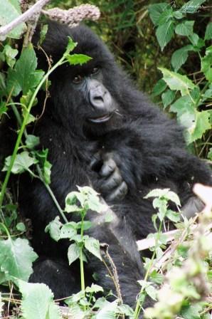 gorillas02