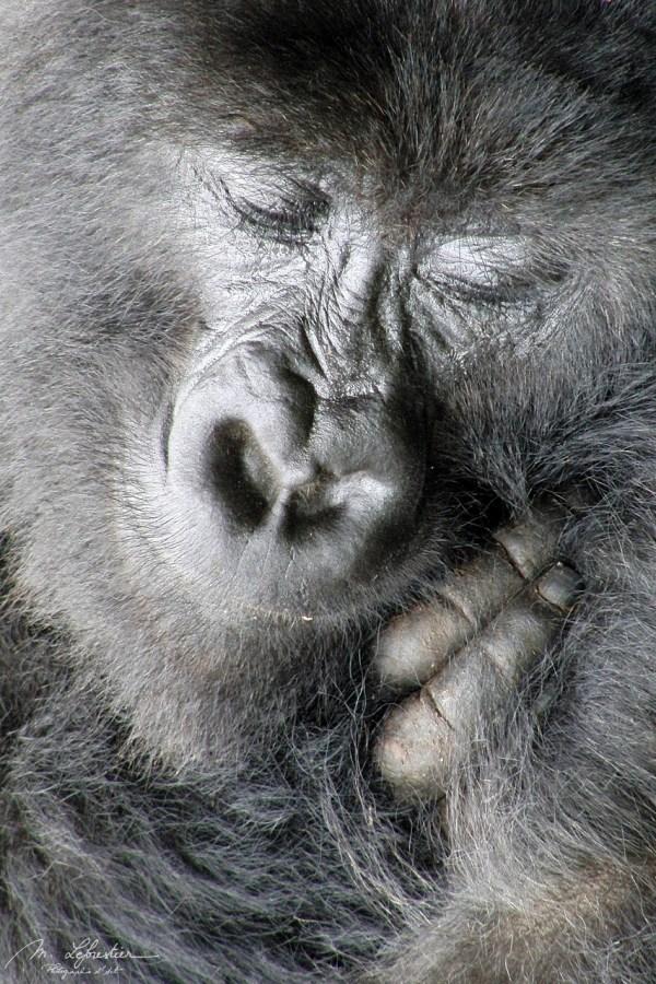 smiling mountain gorilla Amahoro Group Rwanda