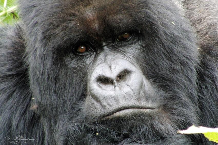 mountain Gorilla Silverback, Amahoro group, Rwanda