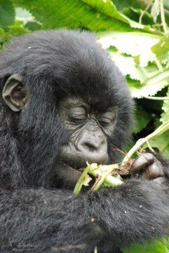 mountain gorilla with bamboo in Rwanda, Amahoro group