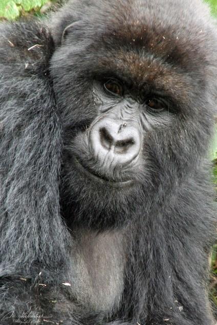 mountain gorilla in Rwanda Amahoro Group