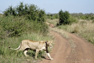 lion crossing road Hlane Royal National Park Swaziland Eswatini Simunye