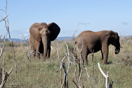 Elephants in Hlane Royal National Park, Simunye Swaziland Eswatini