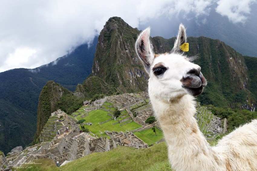 Hello lama passing by the Machu Picchu