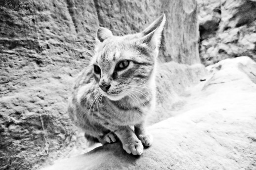 a cat in Petra Jordan