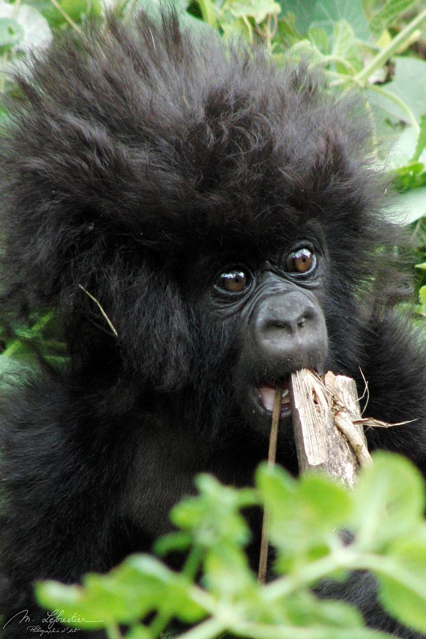 3 month old baby gorilla, Amahoro group, Rwanda volcanoes national park