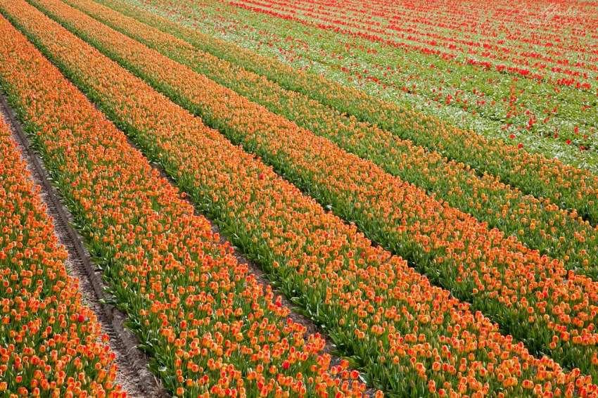 orange tulip field as seen from the village de Zilk in the Netherlands