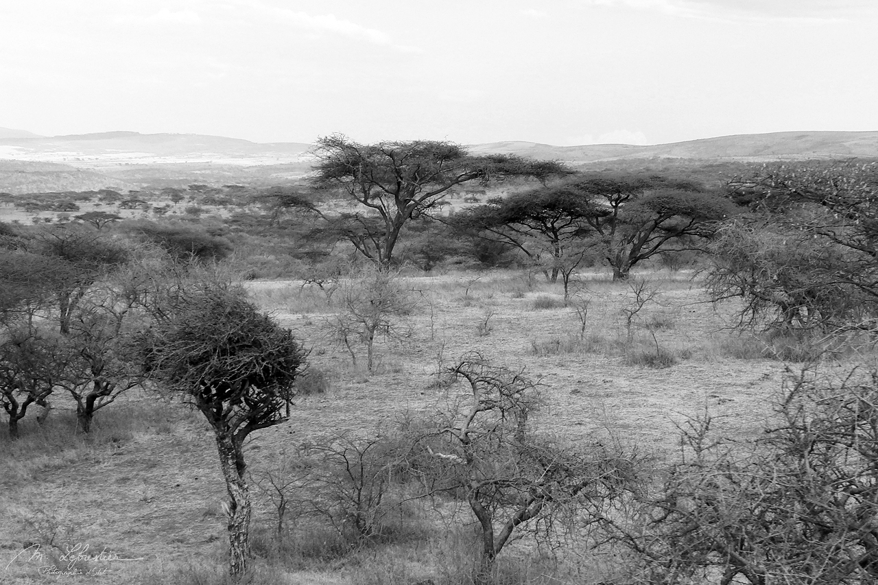 Acacia trees and Savannah in the Ngorongoro crater landscape in Tanzania