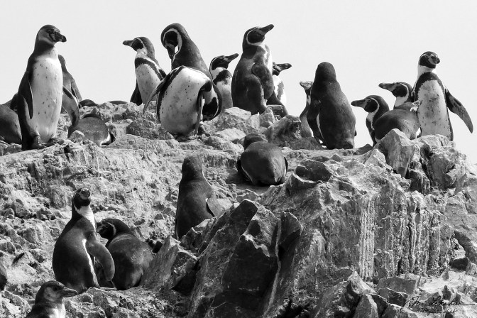 pinguins at Islas Ballestas Peru Galapagos del pobre wildlife travel photographer